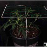 4- SCROG modular: Haciendo 6 partes iguales en el cultivo de marihuana