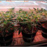 5- Llenando la malla, el cultivo de marihuana pasa a floración