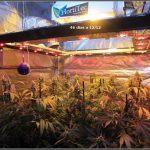 11- Cultivo de marihuana coco y choco de esquejes: Lavado de raíces