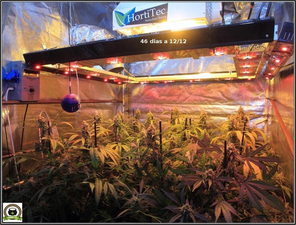 cultivo-de-marihuana-proximamente-lavado-de-raíces-1