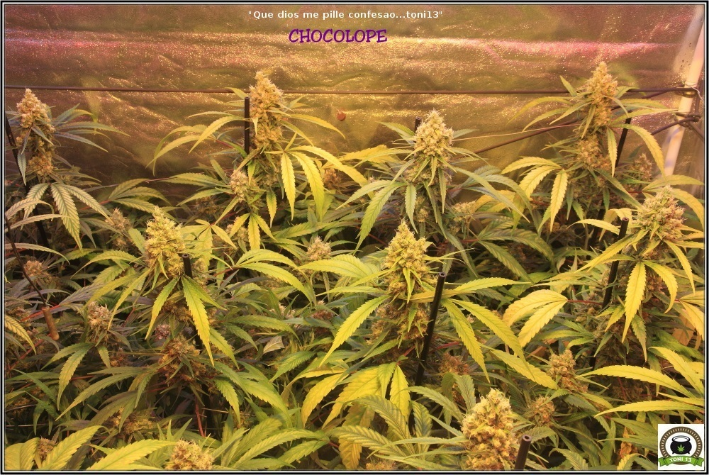 cultivo-marihuana-proximamente-lavado-de-raíces-3