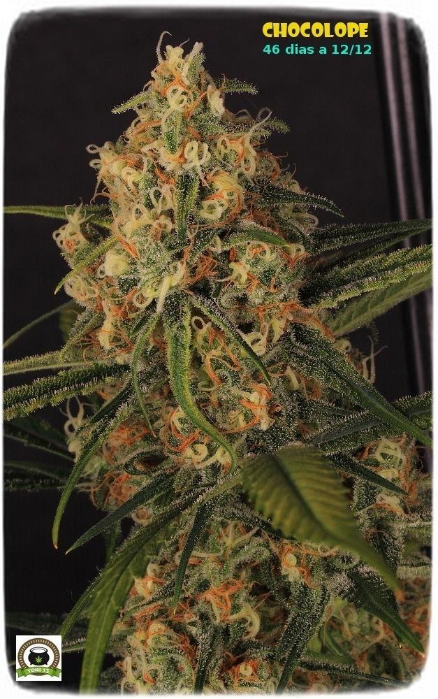chocolope-marihuana