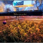 12- Cultivo de marihuana coco y choco: Tijeras afiladas para la Chocolope