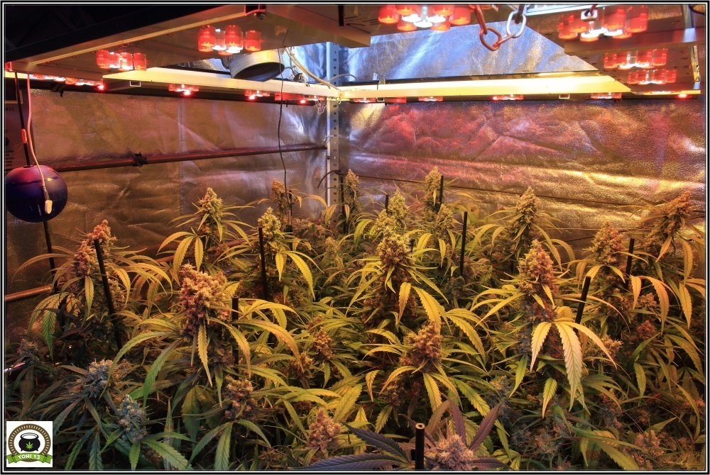 cultivo-marihuana-chocolope-2