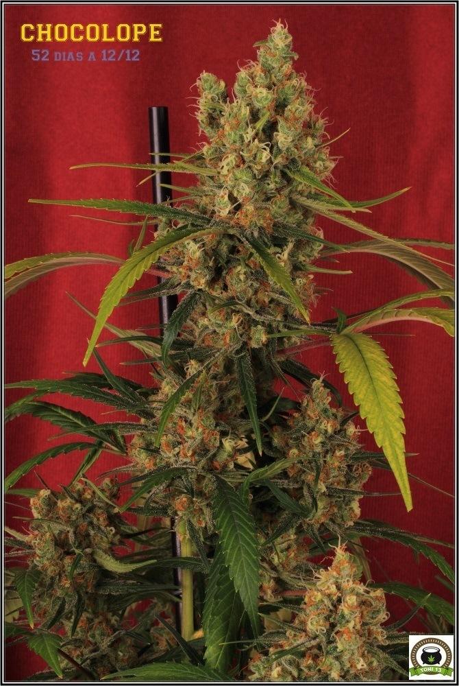 chocolope-marihuana-weed-cogollo
