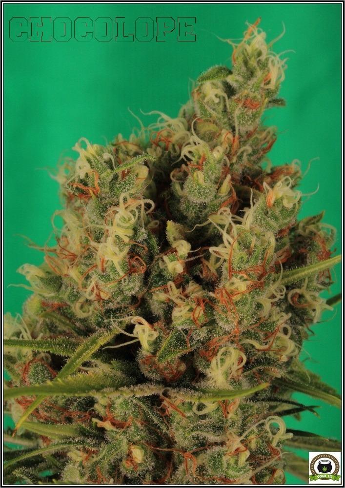chocolope-marihuana-weed-cogollo-detalle