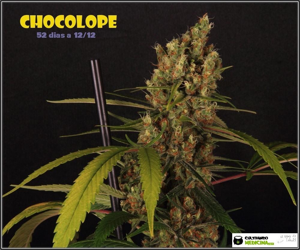 chocolope-marihuana-weed-cogollo-detalle-3