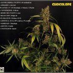 13- Cultivo de marihuana coco y choco esquejes: Luz residual, Final del ciclo