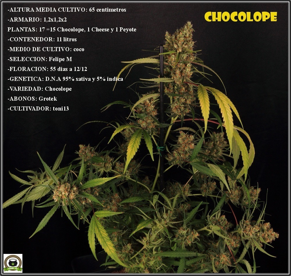 Chocolope-grow-datos-completos