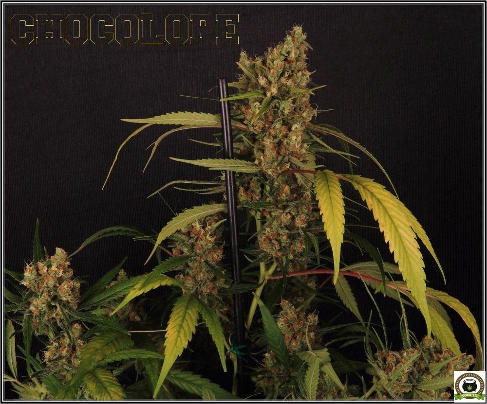 """Cultivo de marihuana choco y coco: Luz residual y """"matarile rile, matarile lon, chin pon""""""""-2"""