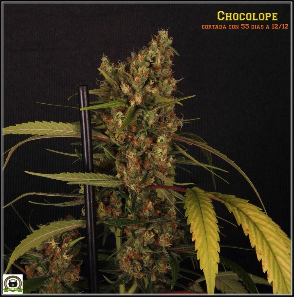 chocolope-variedad-marihuana-coco-choco-cogollo