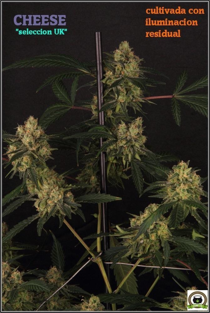 variedad-marihuana-cheese-seleccion-uk