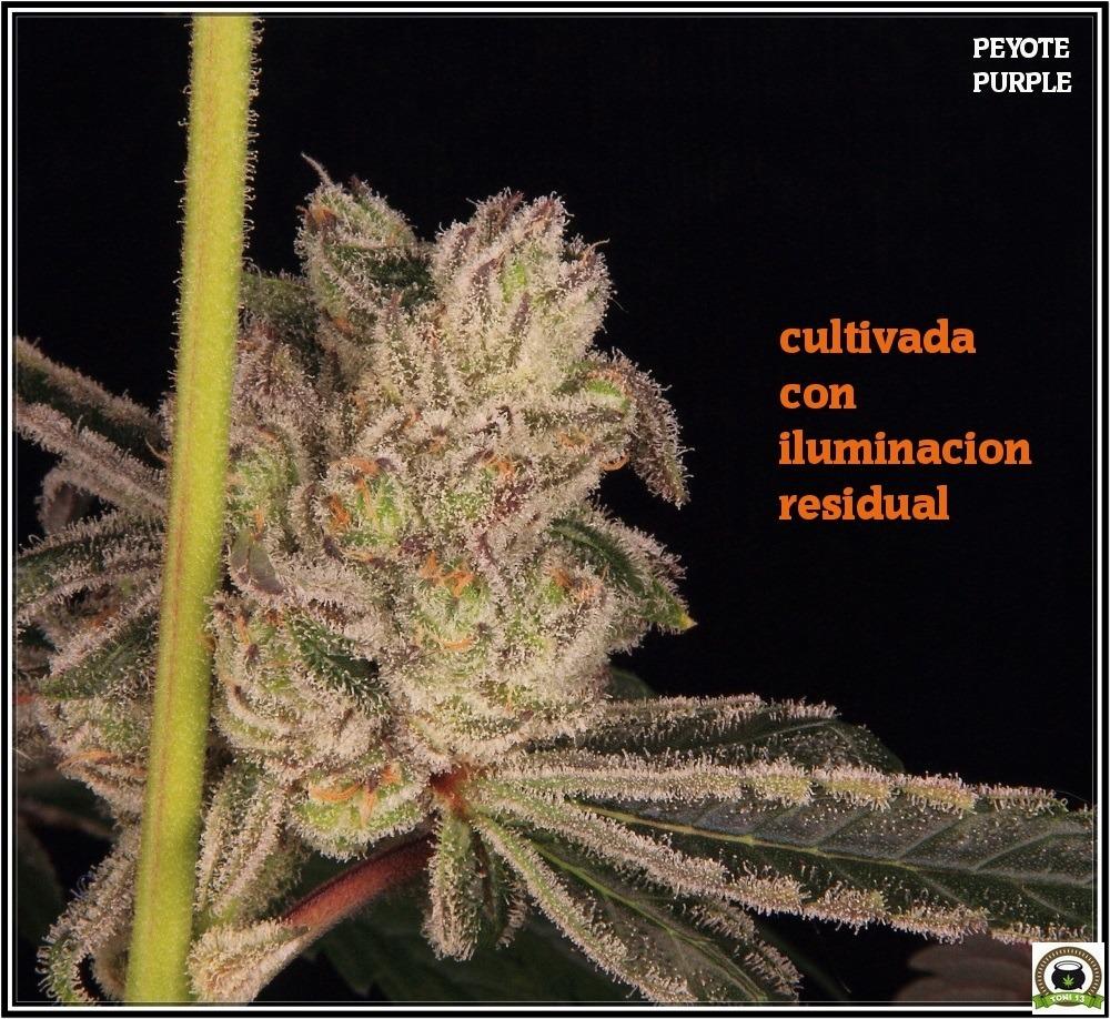 peyote-purple-variedadad-marihuana