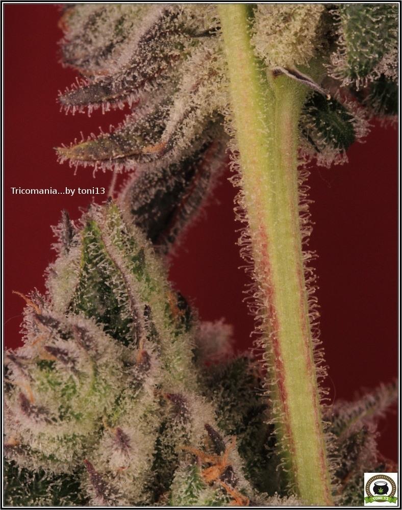 Cultivo-marihuana-choco-coco-Luz-residual