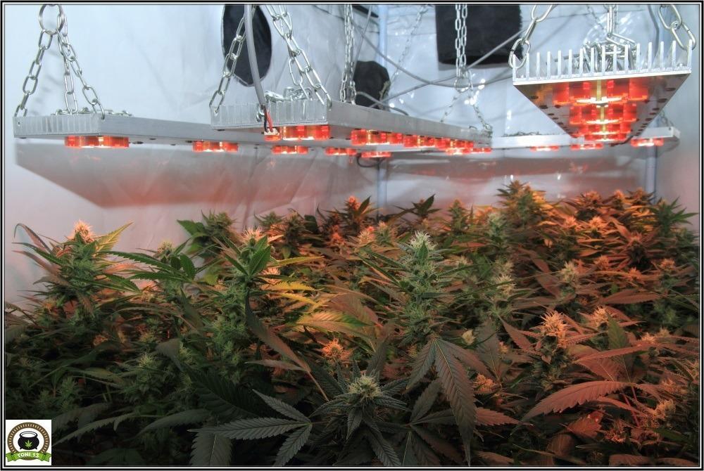 seguimiento marihuana interior se aproxima lavado de raíces: 42 días a 12/12-2