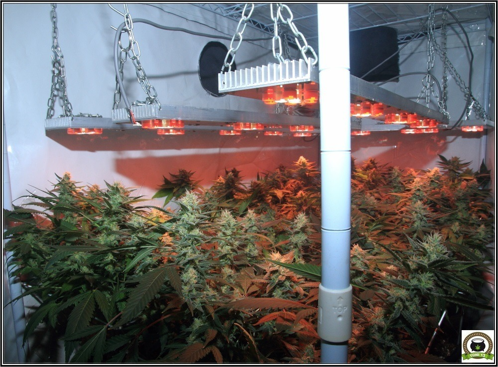 Se aproxima lavado de raíces: 42 días a 12/12-3