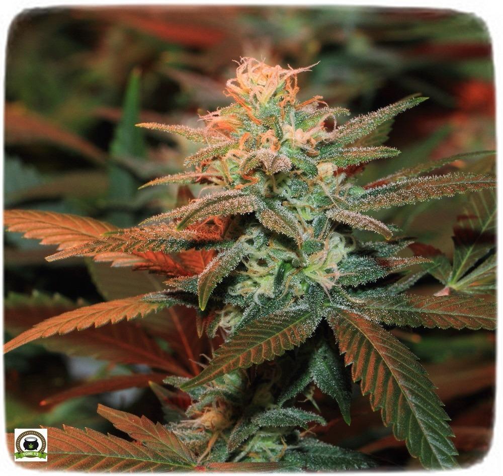 cogollo seguimiento marihuana interior Se aproxima lavado de raíces: 42 días a 12/12-4