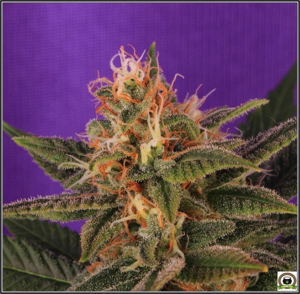 mini-scrog-modular-led-marihuana-cogollo-lavender-4