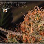 El consumo de cannabis mejora los resultados del tratamiento por dependencia de opiáceos