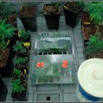 1- Comenzamos seguimiento: Cóctel de variedades de marihuana índicas