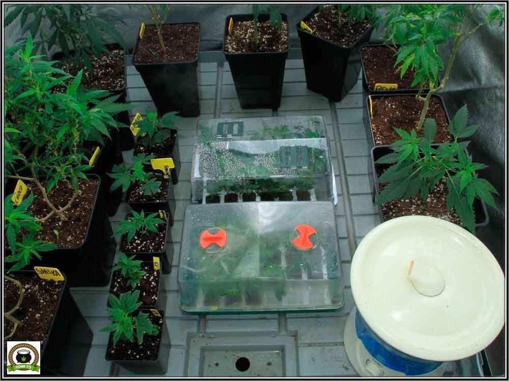 Comenzamos seguimiento Cóctel de plantas marihuana Indicas-1