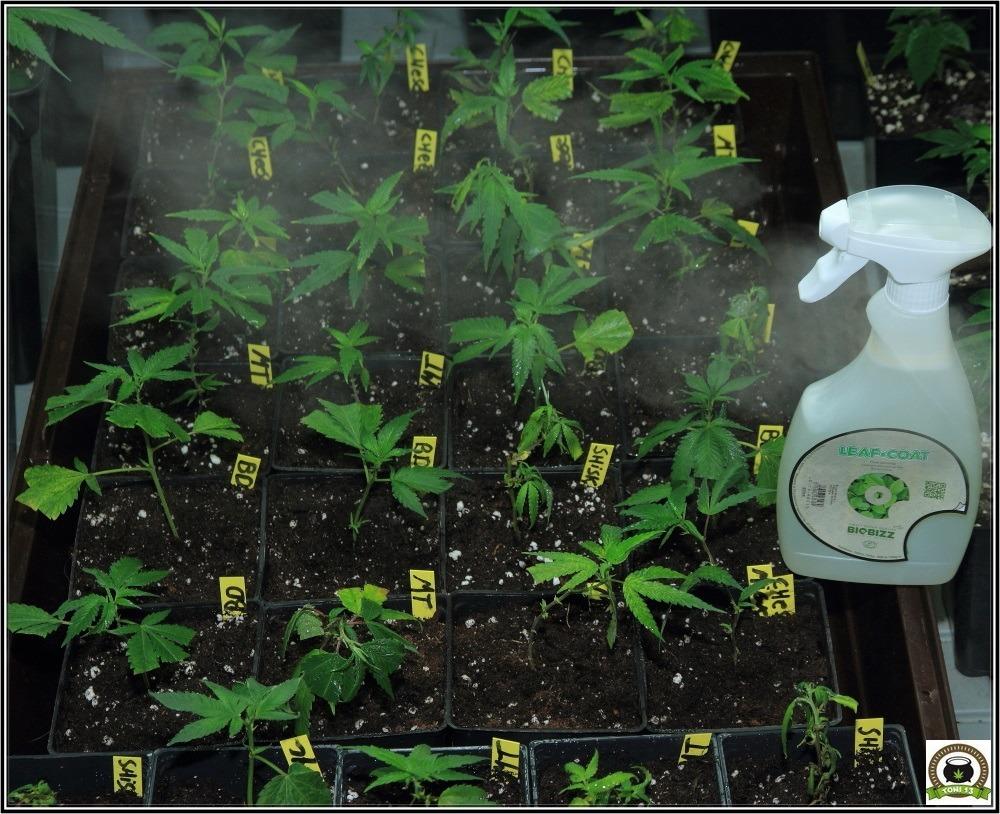 coctel-indicas-esquejes-marihuana-primer-plano-matanuska-tundra
