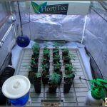 3- El cultivo de marihuana de variedades índicas empieza a despegar