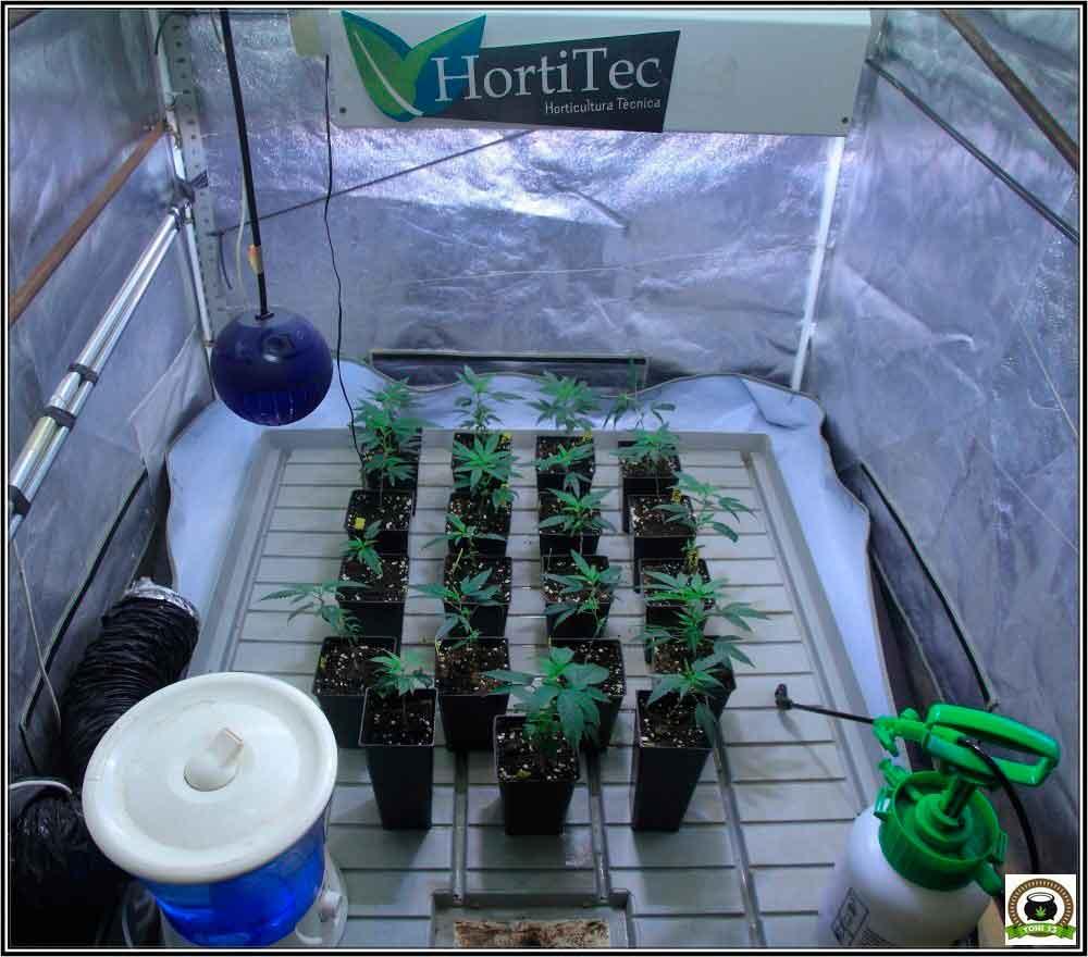 Pulverización de presión previa para cultivo de marihuana: cuándo y cómo pulverizar las plantas de marihuana