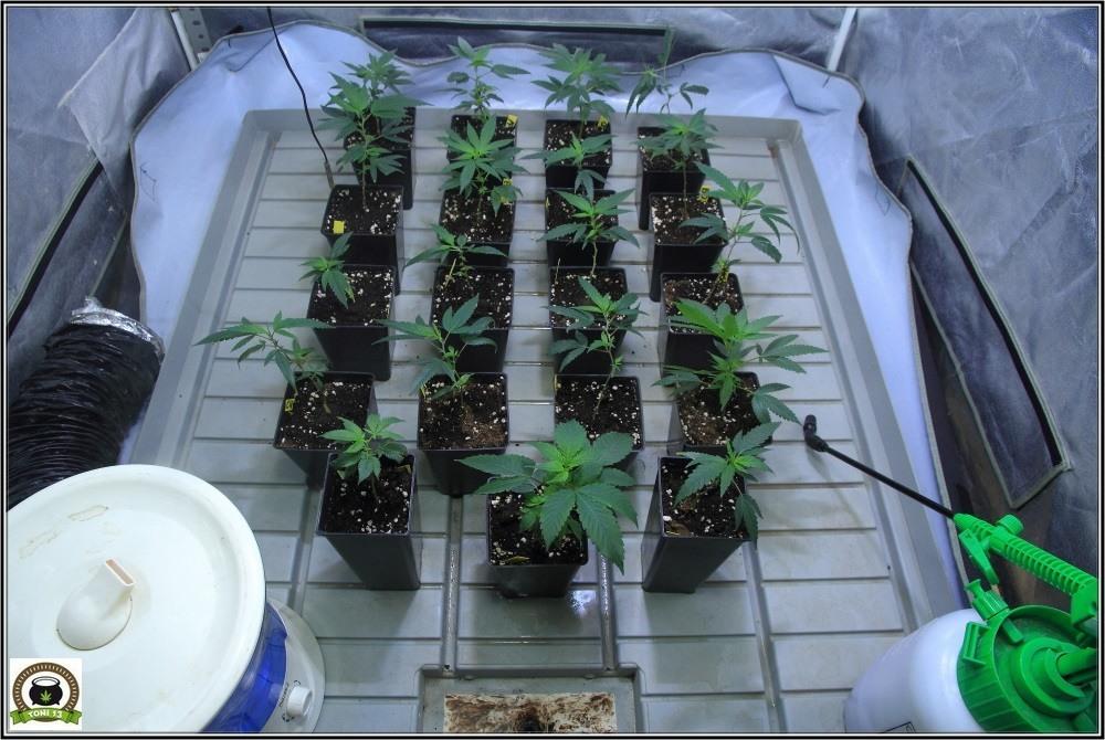 coctel-indicas-marihuana-3-esto-empieza-a-despegar-3