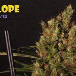 """La historia del clon: Chocolope (DNA) """"selección Felipe M"""""""