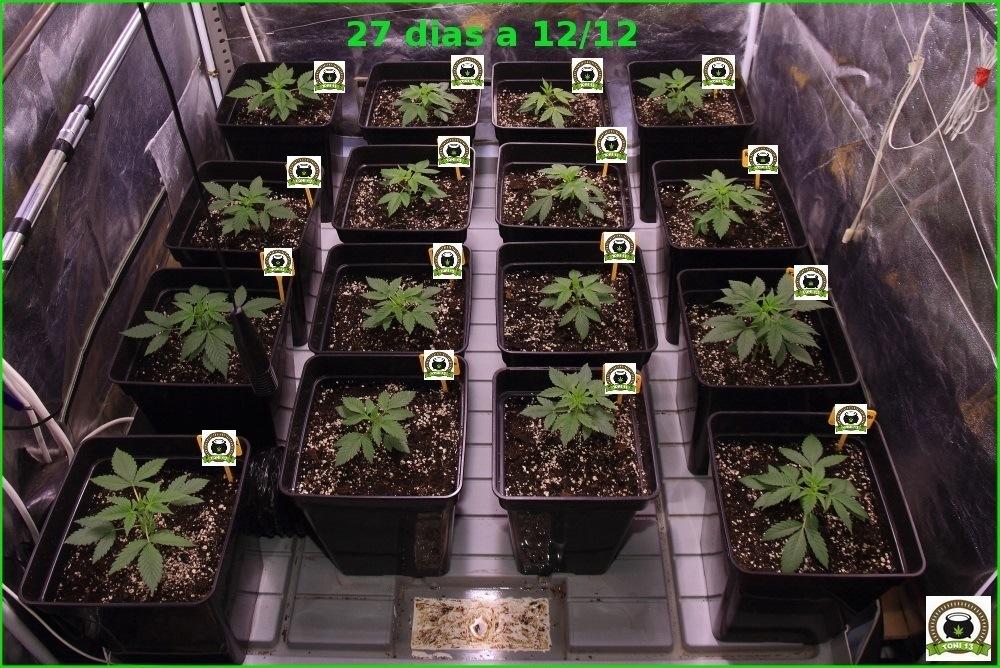 Seguimiento cannabis maestro trasplante a maceta definitiva 1