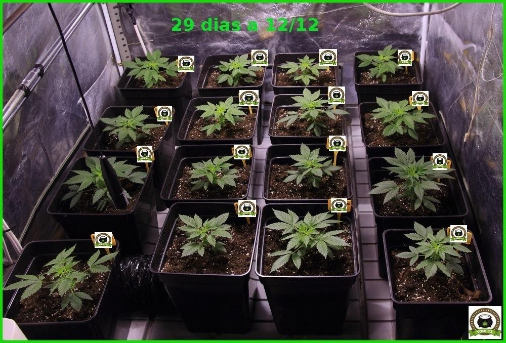 Seguimiento cannabis maestro trasplante a maceta definitiva 2