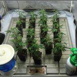 4-Trasplante contenedor final de esquejes, variedades cannábicas definitivas