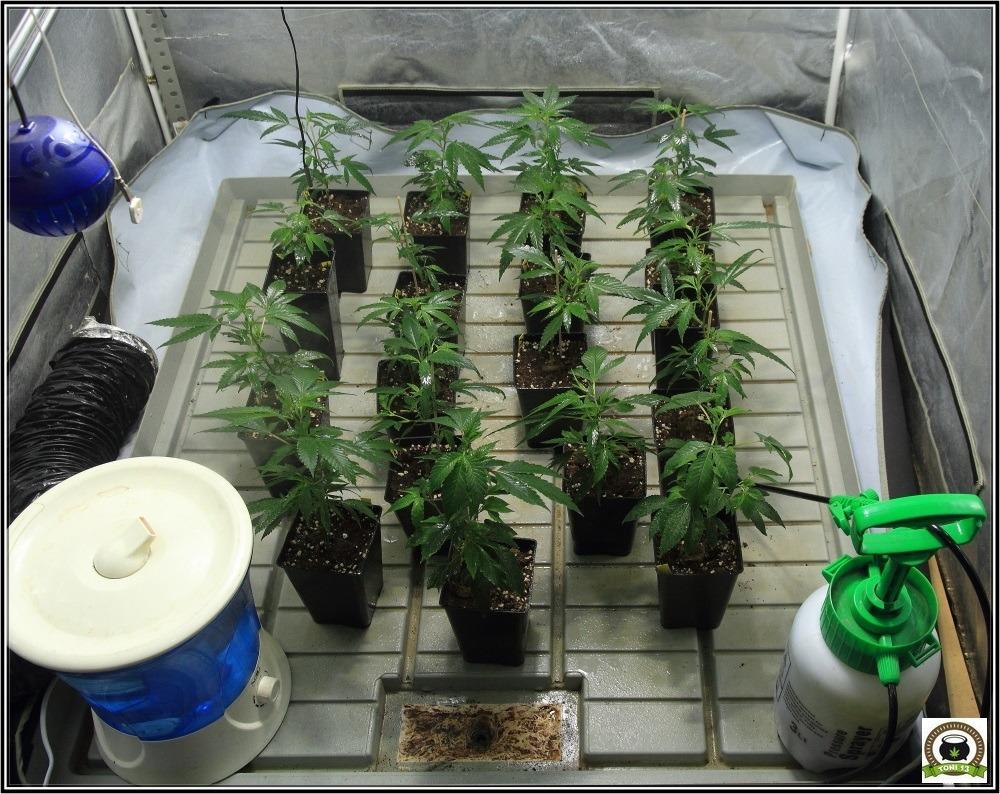 4-esquejes-marihuana-trasplante-a-maceta-definitiva-y-variedades-definitivas-1