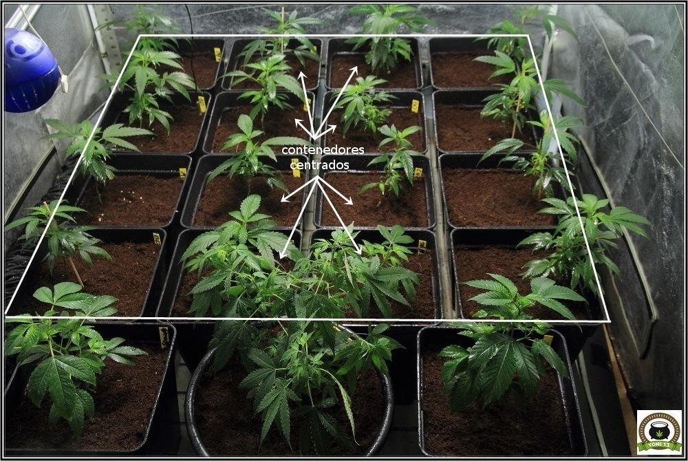 4-esquejes-marihuana-trasplante-a-maceta-definitiva-y-variedades-definitivas-3