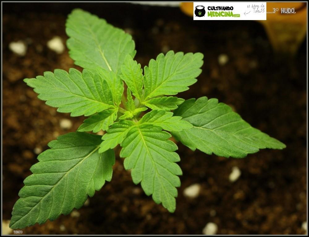 planta de marihuana plántula