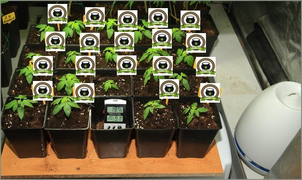 Seguimiento de marihuana maestro, crecimiento vegetativo 1