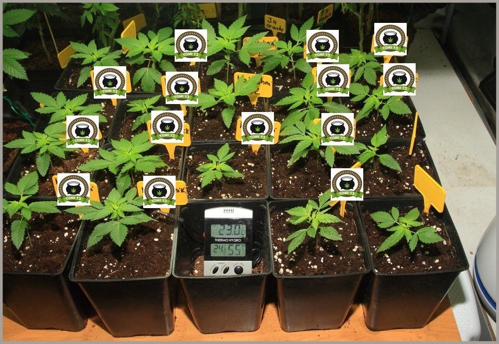 Seguimiento de marihuana maestro, crecimiento vegetativo 2