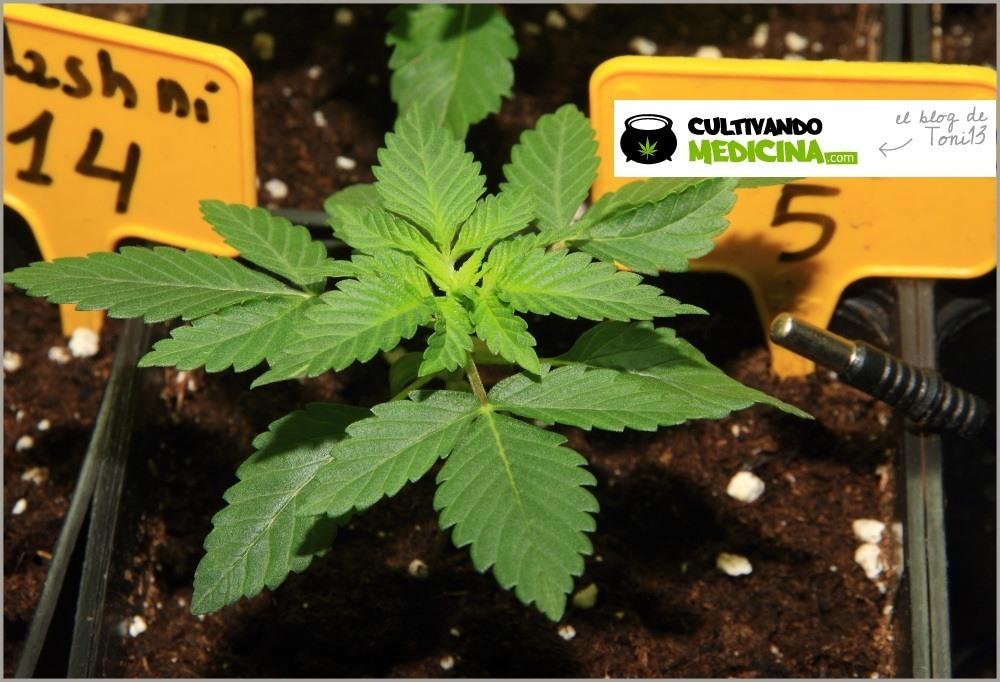 Seguimiento de marihuana maestro, crecimiento vegetativo 3
