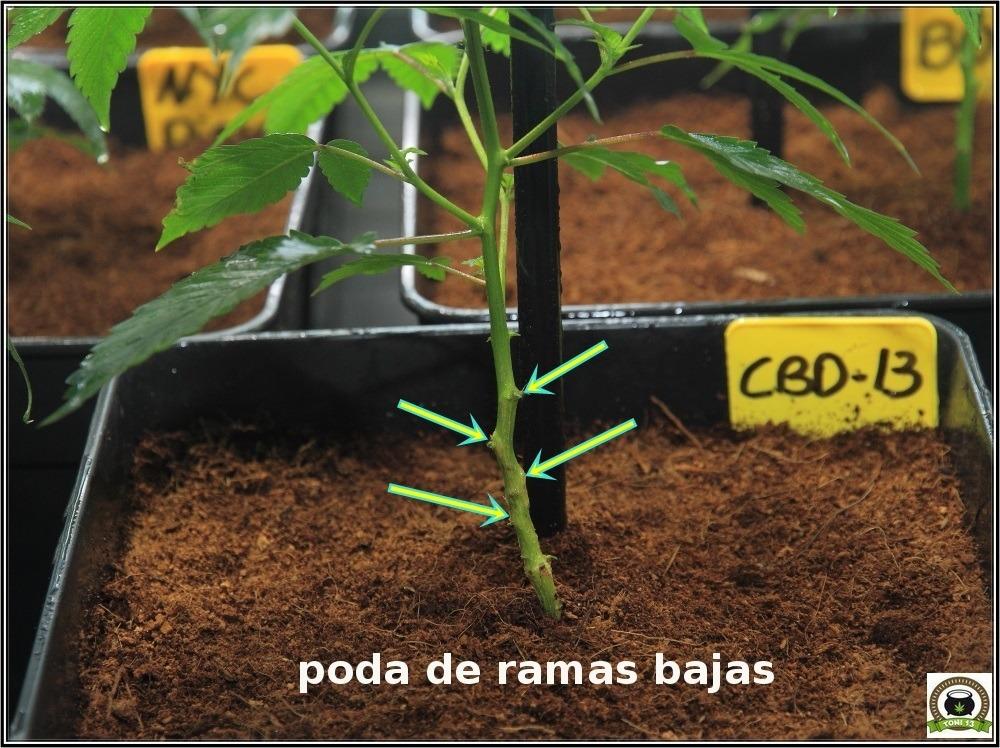 poda-ramas-bajas-marihuana