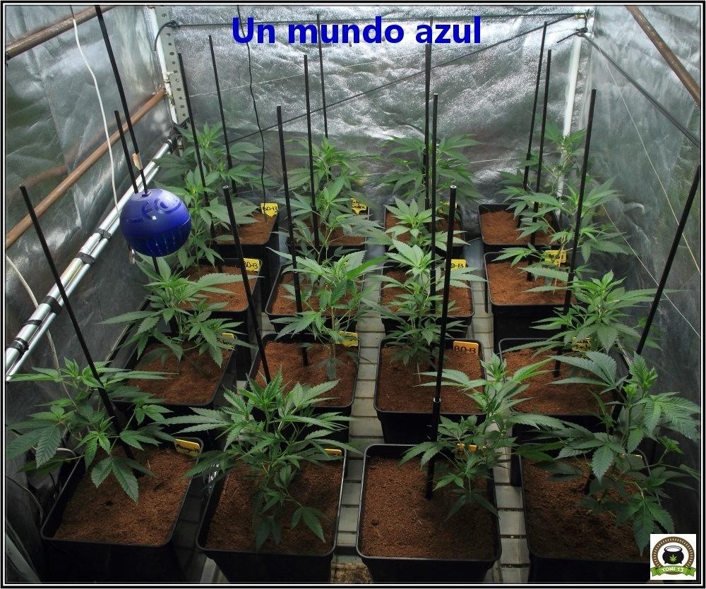 6-Bienvenidos al mundo naranja-1-coctel-de-indicas-cultivo-cannabis