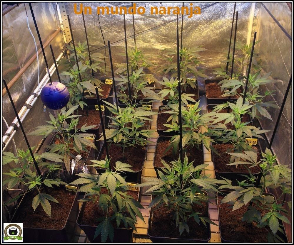 6-Bienvenidos al mundo naranja-2-coctel-de-indicas-cultivo-cannabis