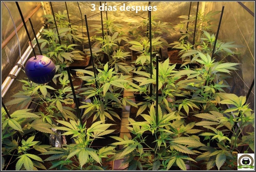 6-Bienvenidos al mundo naranja-3-coctel-de-indicas-cultivo-cannabis