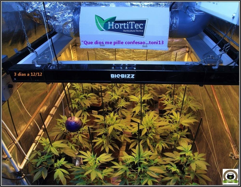 6-Bienvenidos al mundo naranja-4-coctel-de-indicas-cultivo-cannabis