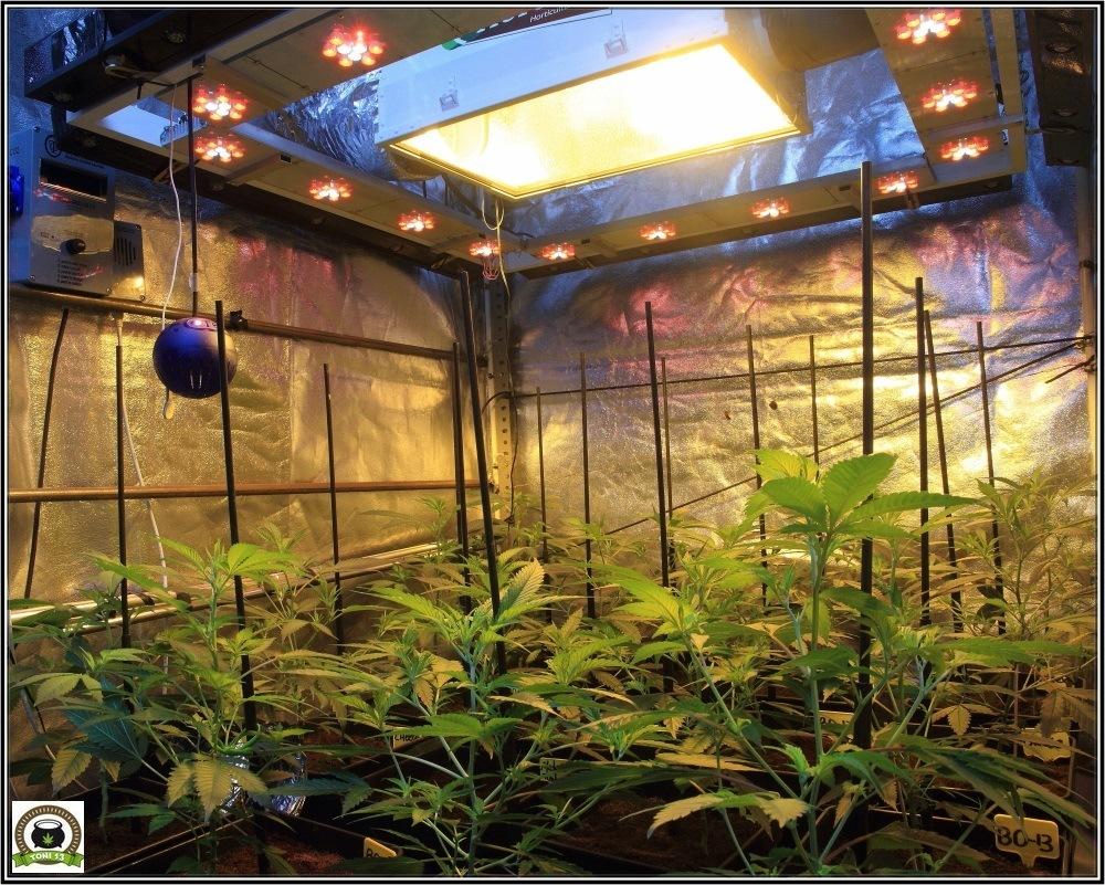 6-Bienvenidos al mundo naranja-5-coctel-de-indicas-cultivo-cannabis