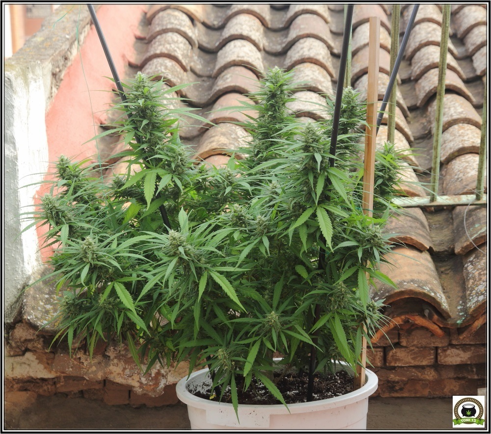 Cultivo de marihuana de terraza