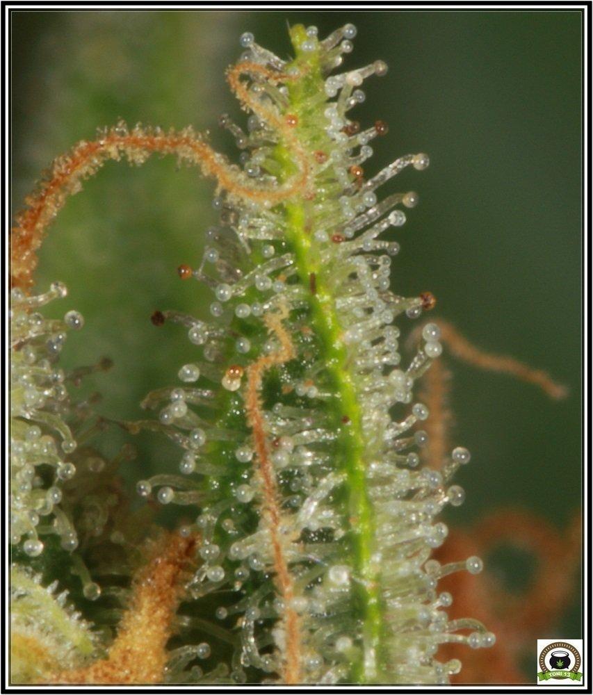Chocolope tricomas 7