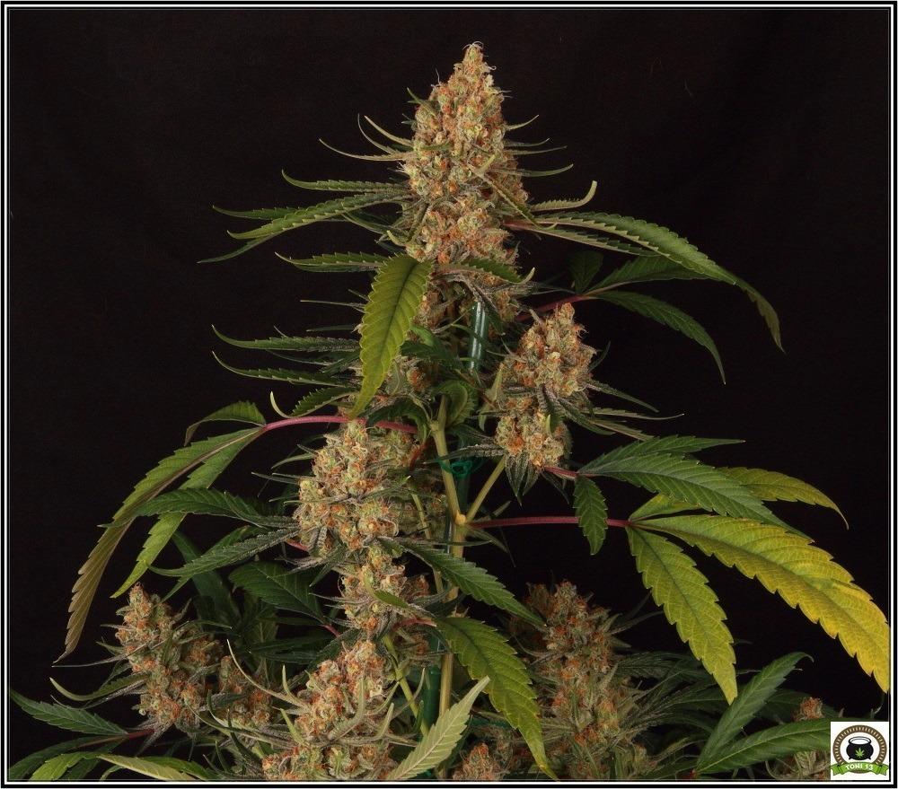 Prevención en cultivo marihuana-1