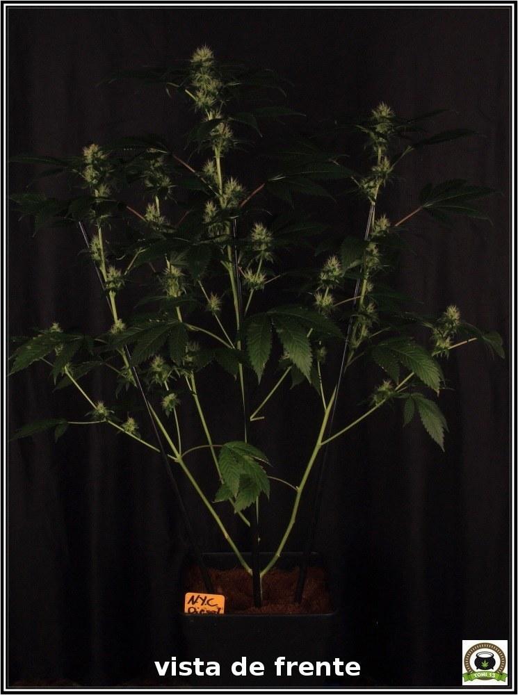 11- Floración: 5 semanas y 2 días. Ensayo con luz residual y riego 2