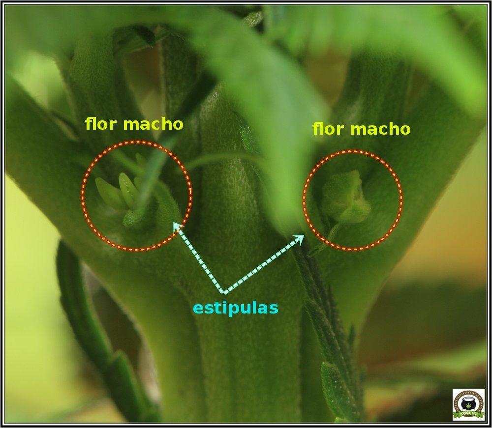 planta de marihuana hermafrodita flores macho y hembra